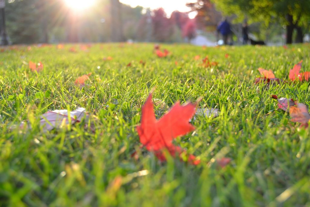 Rollrasen im Herbst