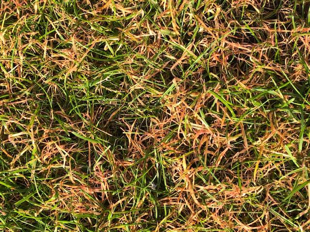 Rotspitzigkeit Rasen