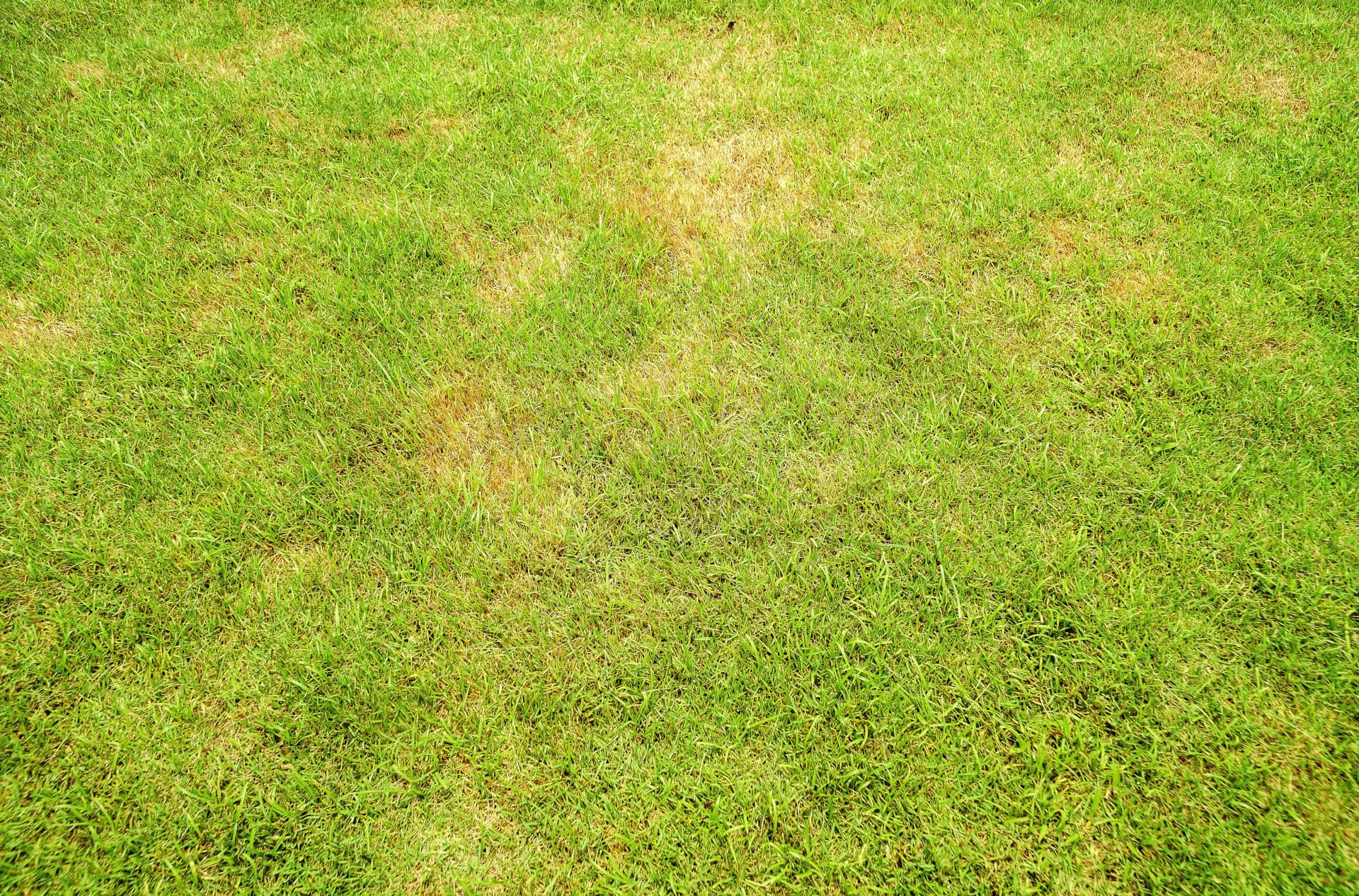 rollrasen ausbessern: gelblicher Rasen